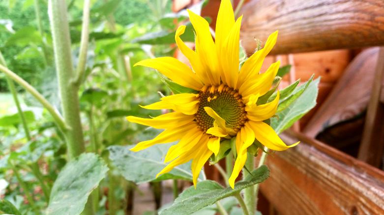 Sončnica prične cveteti